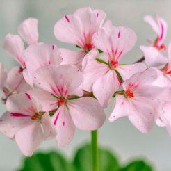 5 façons d'utiliser l'huile de géranium rose