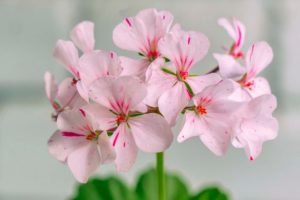 huile de géranium rose