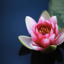 Fleur de lotus : La fleur de lotus est-elle le secret d'une belle peau ?